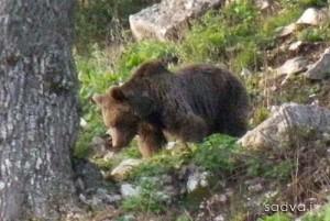 خرس قهوه ای، محیط بان پارک ملی کیاسر را زخمی کرد