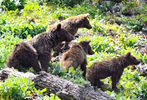 ثبت تصاویر کم نظیر از یک مادر و 3 توله خرس در چهاردانگه