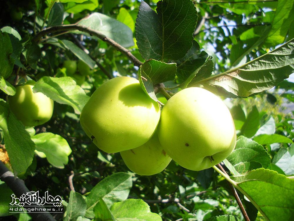 پیشبینی تولید 35 هزار تن سیب از باغهای مازندران