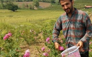 برگ درخشان دیگری از شکوفایی اقتصاد مقاومتی در اراضی چهاردانگه با کشت گل محمدی