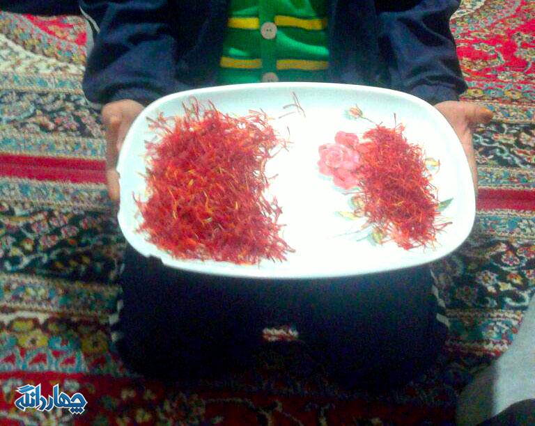 برداشت محصول زعفران در روستای کسوت چهاردانگه