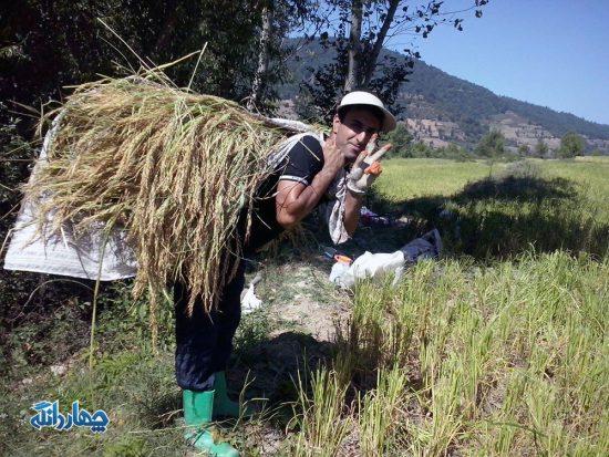 تصاویر: آغاز برداشت محصول برنج در شالیزارهای روستای مازرستاق