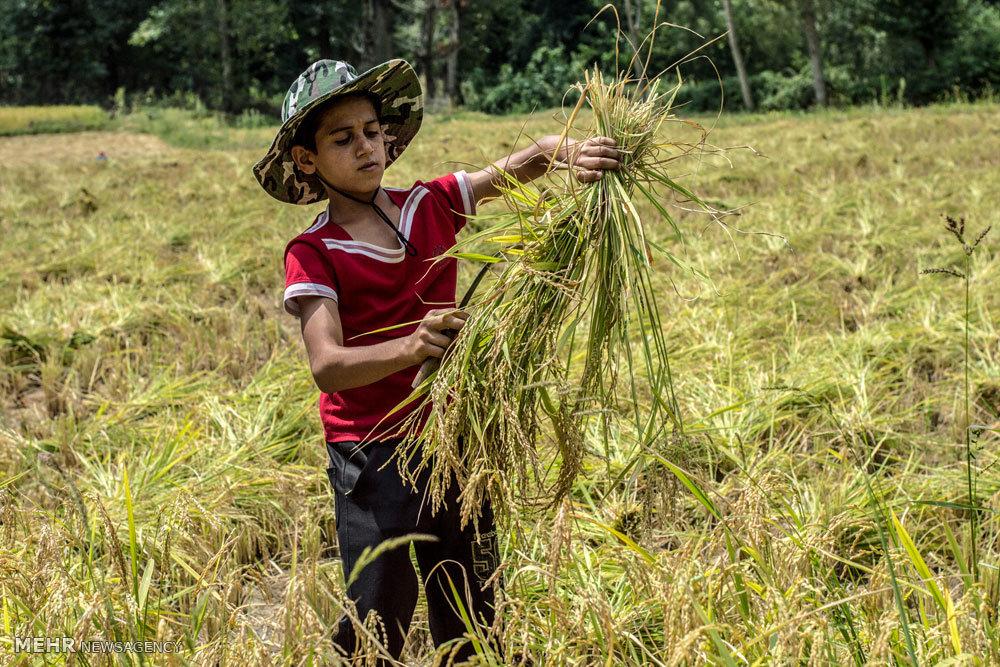 وزارت جهاد برای مدیریت کشت برنج سیاستی ندارد